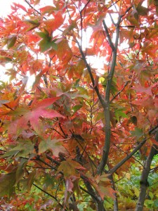The Gardens Autumn Colour (8)